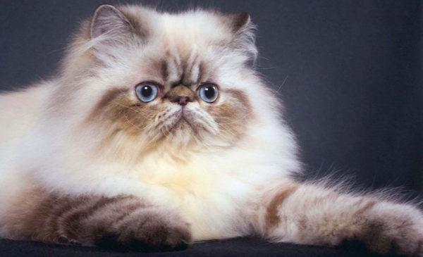 razas-de-gatos-americano-persa-2
