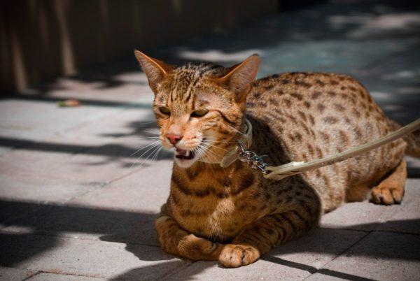 razas-de-gatos-felino-montes