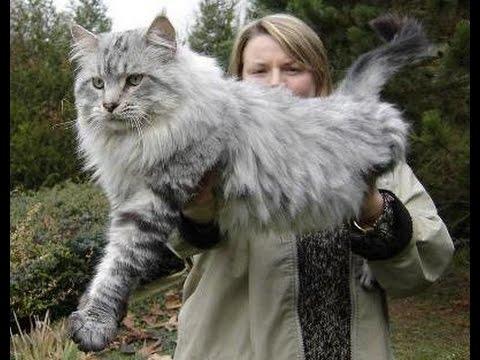 razas-de-gatos-gato-gigante