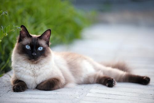 razas-de-gatos-siames-2