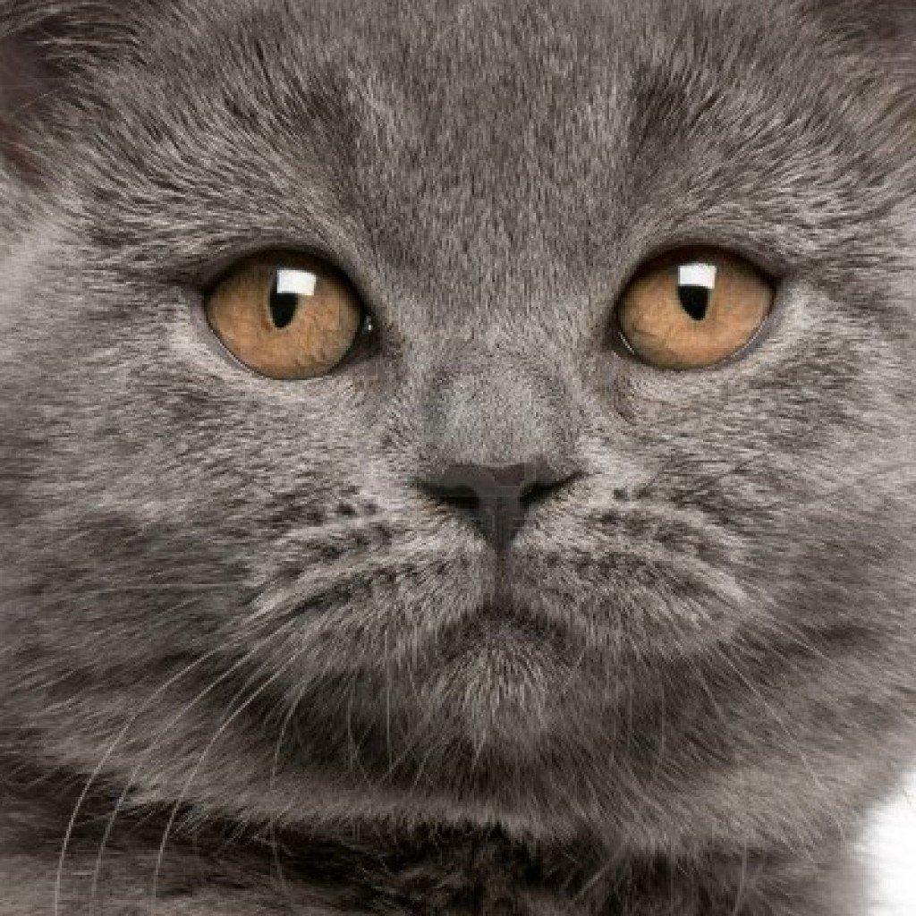 razas-de-gato-gato-britanico-caracteristicas