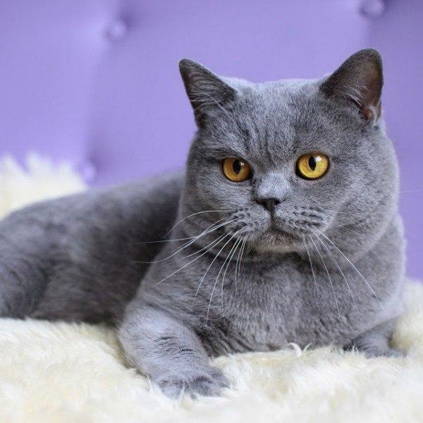 razas-de-gato-gato-britanico-cuidados