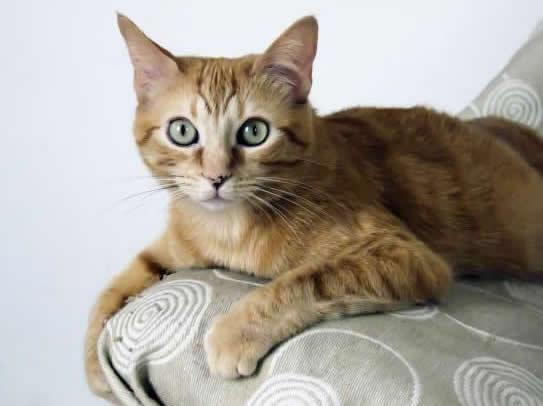 razas-de-gato-gatos-brasileno-de-pelo-corto-caracteristicas