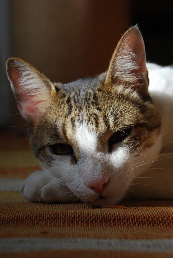 razas-de-gato-gatos-brasileno-de-pelo-corto-cuidados