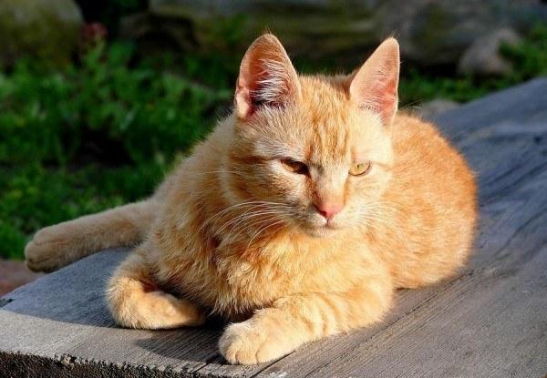 razas-de-gato-gatos-brasileno-de-pelo-corto