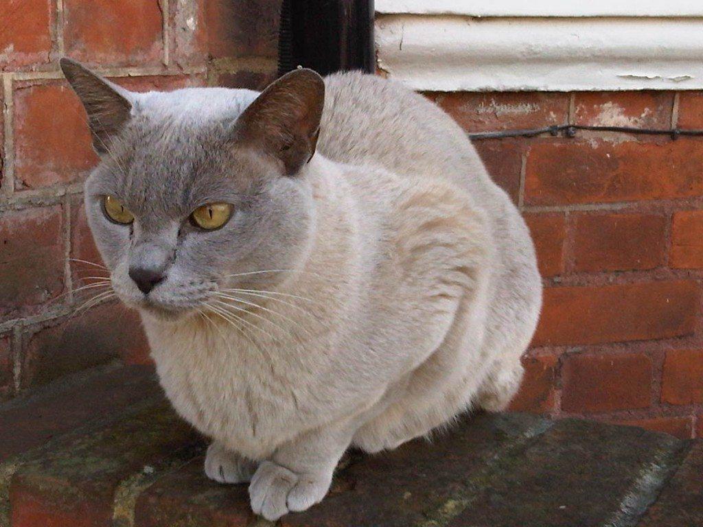 razas-de-gato-gatos-burmes