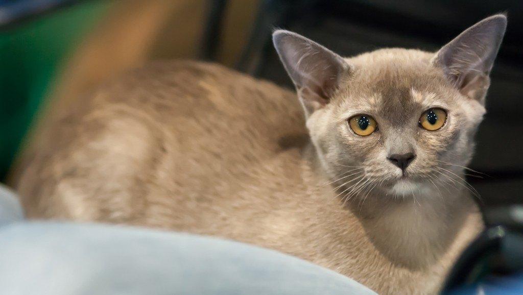 razas-de-gato-gatos-burmes-caracteristicas