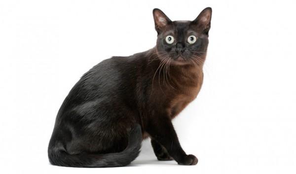razas-de-gato-gatos-burmes-cuidados