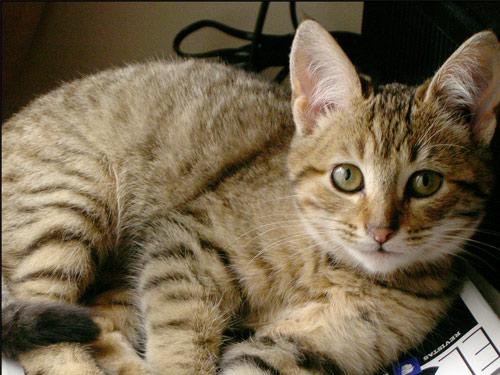 razas-de-gato-gatos-california-spangled-caracteristicas