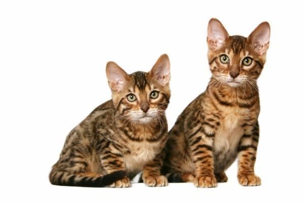 razas-de-gato-gatos-california-spangled-cuidados