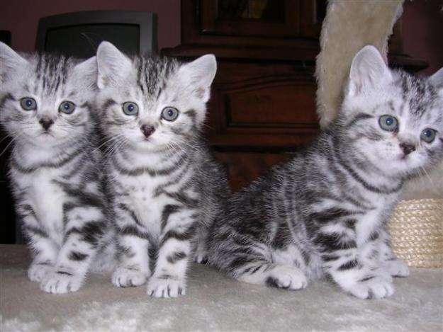 razas-de-gato-gatos-california-spangled