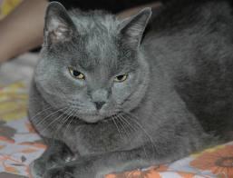 razas-de-gato-gatos-cartujo-chartreux-caracteristicas