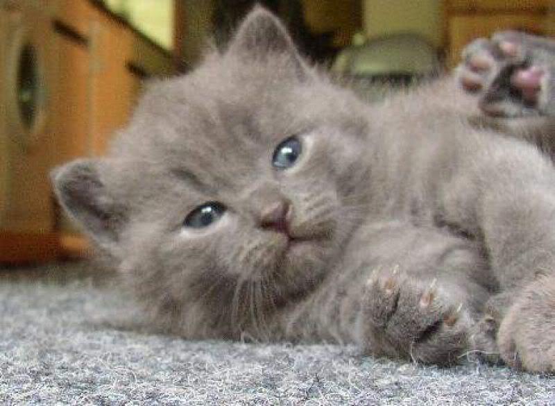 razas-de-gato-gatos-cartujo-chartreux-cuidados