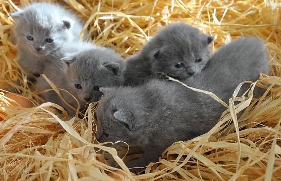 razas-de-gato-gatos-cartujo-chartreux