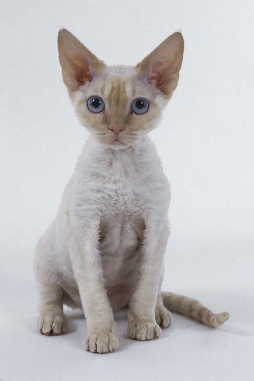 razas-de-gato-gatos-cornish-rex-cuidados