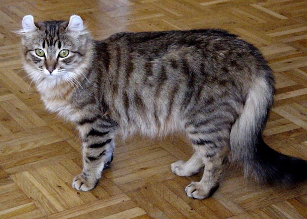 razas-de-gato-gatos-curl-americano-caracteristicas