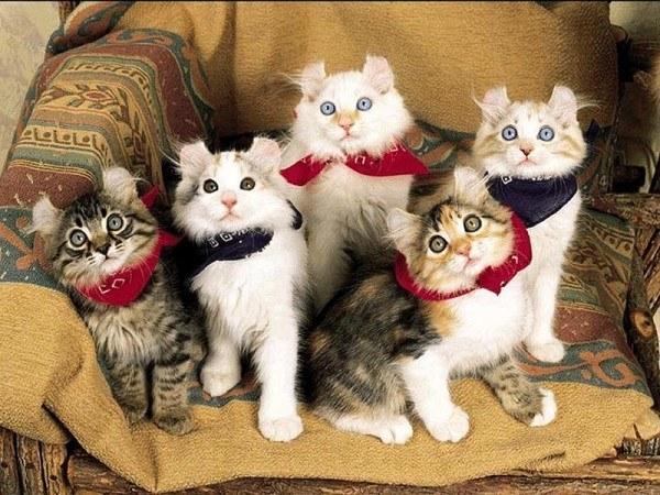 razas-de-gato-gatos-curl-americano