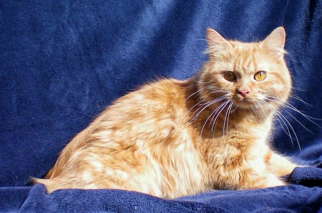 razas-de-gato-gatos-cymric