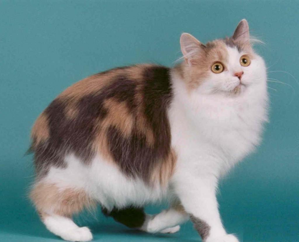 razas-de-gato-gatos-cymric-caracteristicas