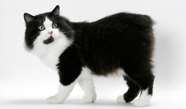 razas-de-gato-gatos-cymric-cuidados
