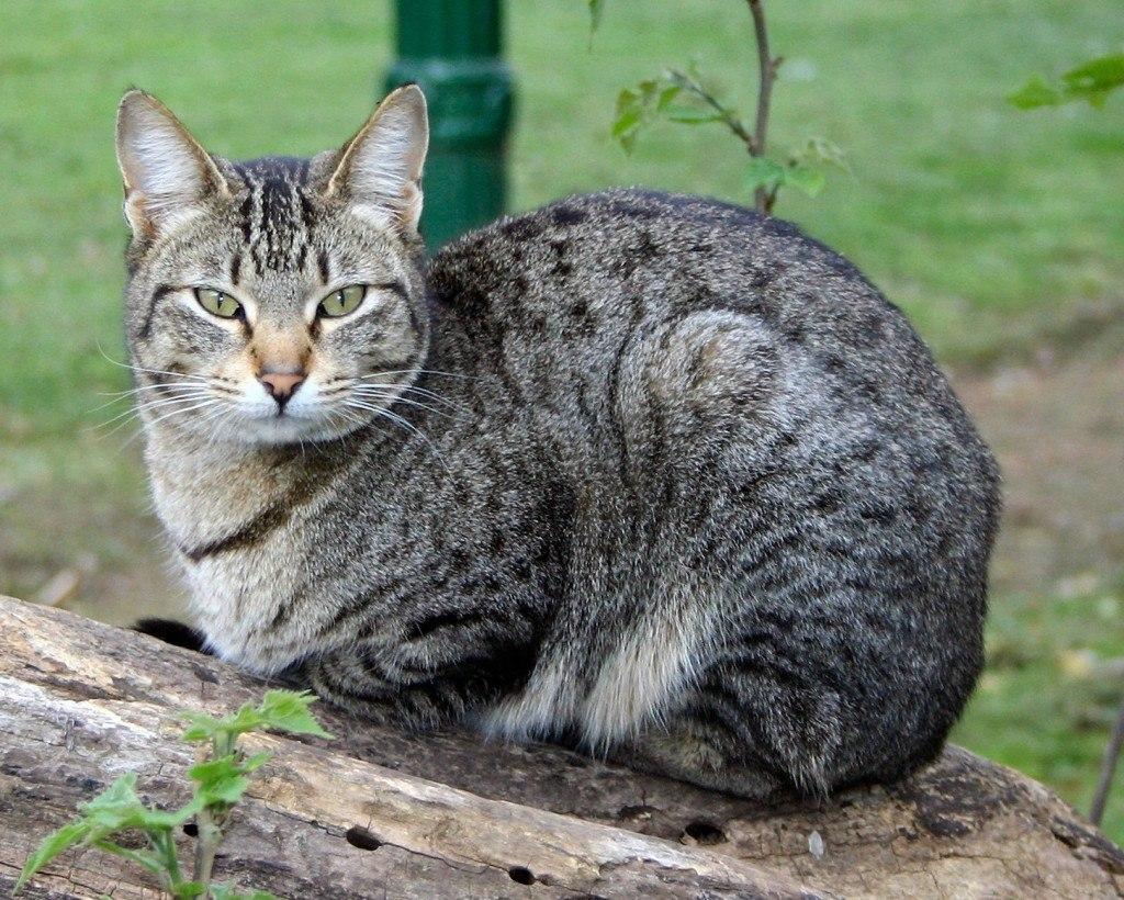 razas-de-gato-gatos-domestico-comun-o-mestizo-caracteristicas