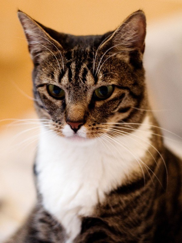 Razas De Gato Gatos Dom 233 Stico Com 250 N O Mestizo