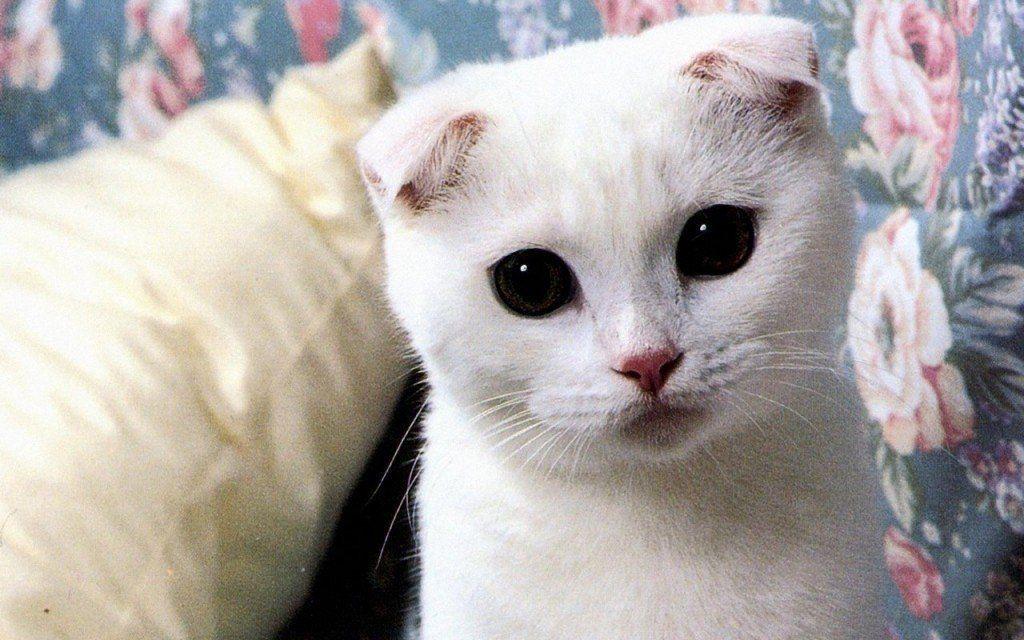 razas-de-gato-gatos-fold-escoces-cuidados