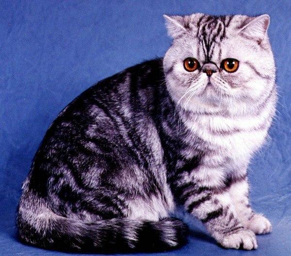 razas-de-gato-gatos-foldex-caracteristicas