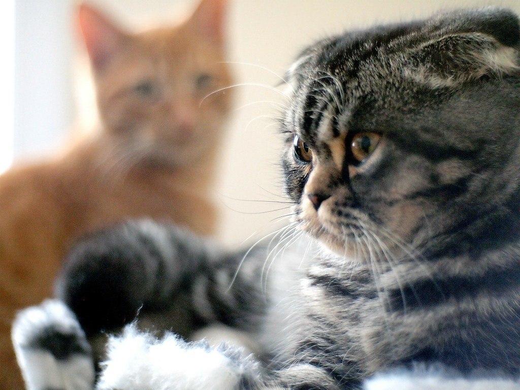 razas-de-gato-gatos-foldex-cuidados
