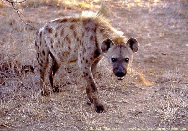 animales-carnivoros-hiena
