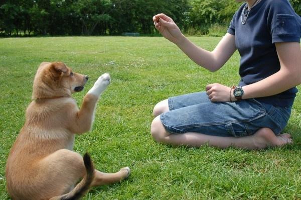 cachorro-de-perro-con-tan-solo-8-semanas-y-ya-sigue-ordenes-video-adiestramiento-de-perros