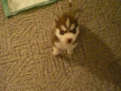cachorro-de-perro-con-tan-solo-8-semanas-y-ya-sigue-ordenes-video