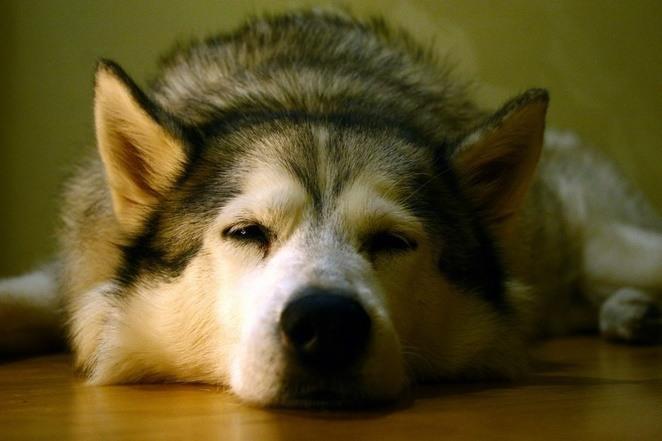 el-cancer-mas-antiguo-conocido-desde-hace-11-000-anos-es-originado-en-los-perros