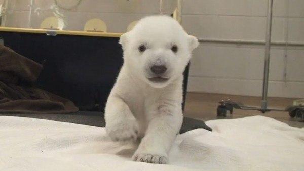 el-video-de-los-primeros-pasos-de-un-cachorro-de-oso-polar-que-triunfa-en-youtube
