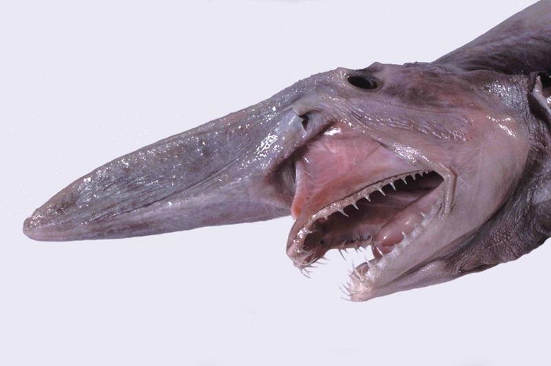las-7-criaturas-mas-curiosas-y-extranas-del-oceano-tiburon-duende-2