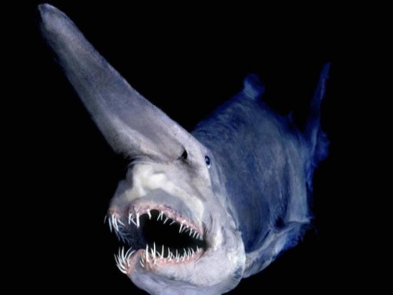 las-7-criaturas-mas-curiosas-y-extranas-del-oceano-tiburon-duende