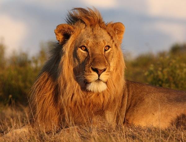 leon animal carnivoro