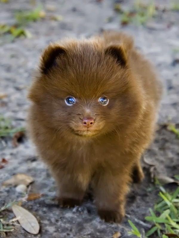 nuevas-razas-de-perro-pomsky