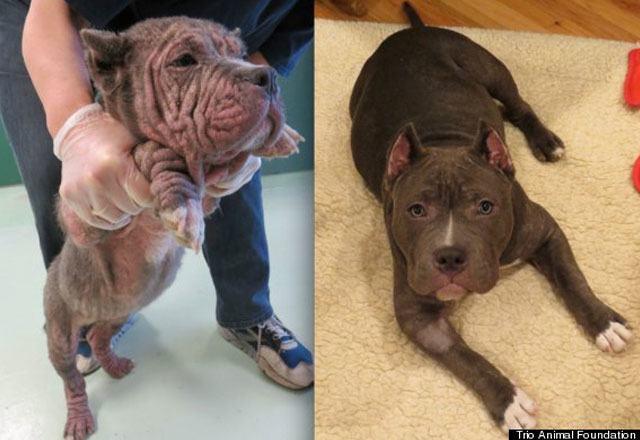 14-fotos-de-perros-rescatados-antes-y-despues-de-ser-adoptados-perro-hippo-Trio-Animal-Foundation