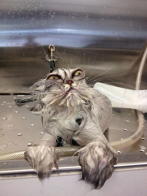 divertida-recopilacion-de-fotos-de-gatos-mojados-consulta-veterinario