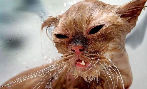 divertida-recopilacion-de-fotos-de-gatos-mojados-primer-plano