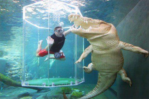 nadando-entre-cocodrilos-en-una-jaula-de-la-muerte