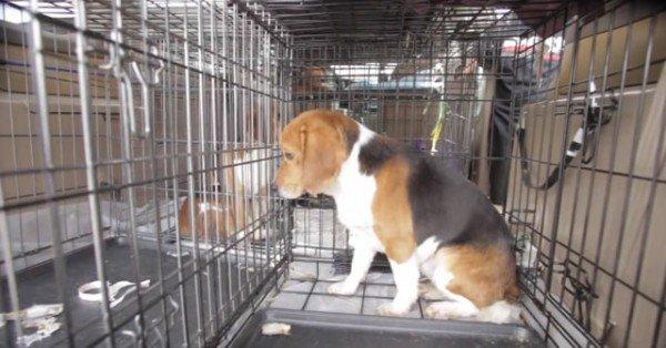 9-cachorros-beagle-son-soltados-por-primera-vez-en-un-jardin-despues-de-pasar-toda-su-vida-en-el-laboratorio