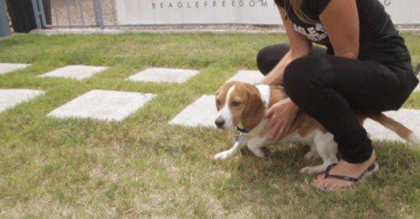 9-cachorros-beagle-son-soltados-por-primera-vez-en-un-jardin-despues-de-pasar-toda-su-vida-en-el-laboratorio-contacto-con-la-hierba