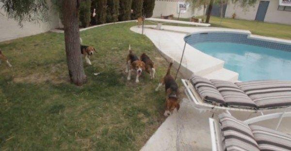 9-cachorros-beagle-son-soltados-por-primera-vez-en-un-jardin-despues-de-pasar-toda-su-vida-en-el-laboratorio-corriendo