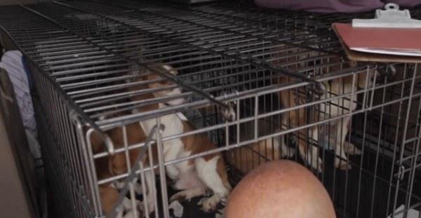 9-cachorros-beagle-son-soltados-por-primera-vez-en-un-jardin-despues-de-pasar-toda-su-vida-en-el-laboratorio-jaula