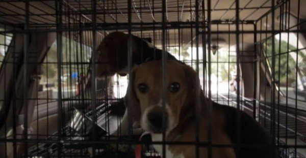 9-cachorros-beagle-son-soltados-por-primera-vez-en-un-jardin-despues-de-pasar-toda-su-vida-en-el-laboratorio-jaula-rescate