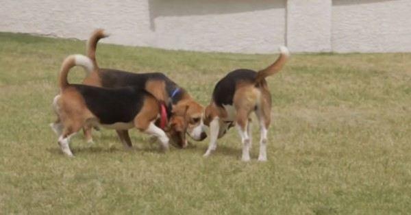 9-cachorros-beagle-son-soltados-por-primera-vez-en-un-jardin-despues-de-pasar-toda-su-vida-en-el-laboratorio-jugando