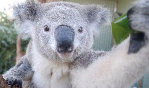 los-mejores-selfies-de-perros-gatos-y-mas-animales-koala