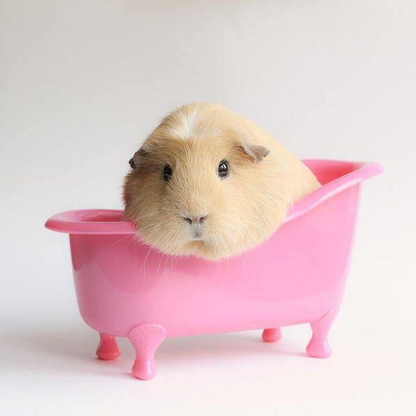 adorable-cobaya-causa-sensacion-en-las-redes-sociales-a-la-hora-del-baño